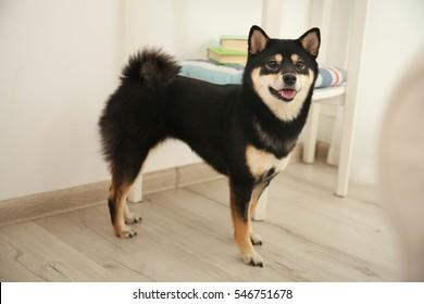 Cute Sibu ina dog in room