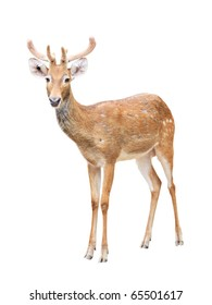 Cute sika deer at a zoo isolated on white background