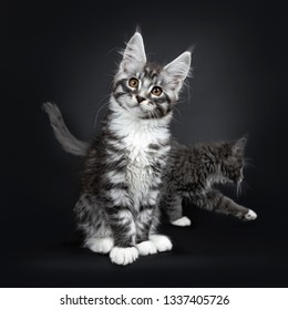 Cute silver black tabby Maine Coon cat kitten, sitting up facing front. Looking curious at camera with tilted head and brown eyes. Isolated on black background. Photobombed by other kitten in the back