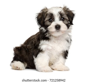 Cute silver sable havanese puppy dog is sitting and looking at camera, isolated on white background