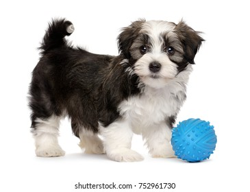 Cute silver sable havanese puppy dog standing with a blue toy ball, isolated on white background