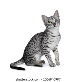Cute silver spotted Egyptian Mau cat kitten sitting with one paw in the air isolated on white background and looking above camera