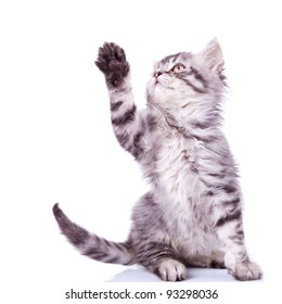 cute silver tabby cat reaching for something with its paw over white