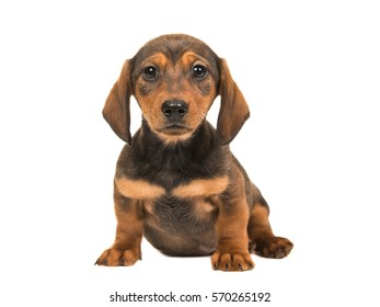 Cute single sitting shorthair dachshund puppy dog facing the camera isolated on a white background