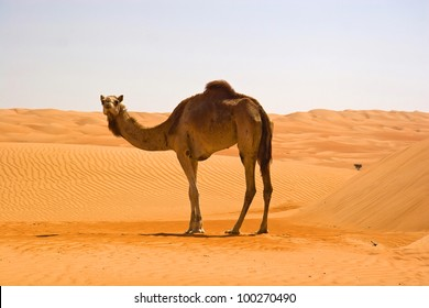 Cute single-humped camel in beautiful omani desert in the middle of the day