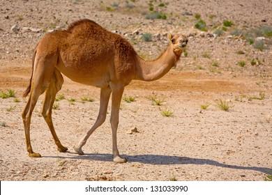 Cute single-humped camel in beautiful omani desert