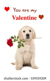 Cute sitting golden retriever puppy dog holding a red rose in his mouth facing the camera on a white background with text You ar my Valentine as a wishing card
