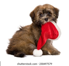 Cute sitting Havanese puppy dog is keeping a Santa hat in her mouth and waiting for Christmas. Isolated on a white background