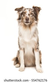 Cute sitting smiling australian shepherd facing the camera seen from the front on a white background