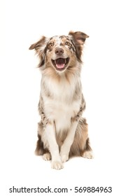 Cute sitting smiling australian shepherd facing the camera with its mouth open seen from the front on a white background