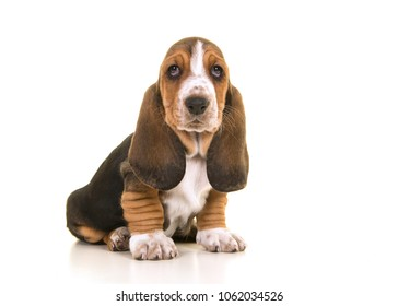 Cute sitting tricolor basset hound puppy looking at the camera isolated on a white background