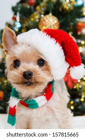 Cute sitting Yorkshire Terrier puppy dog in a Christmas - Santa hat,christmas tree