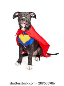 A cute six month old mixed large breed puppy dog wearing a red cape and a vest with room to add your own text onto.