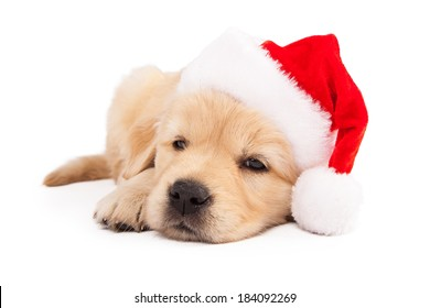 A cute six week old Golden Retriever puppy wearing a red santa hat while laying down and falling asleep