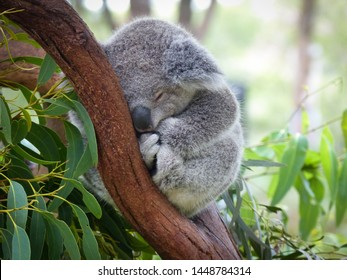 Cute Sleeping Baby Koala Bear in Queensland Australia sitting in Eucalyptus Tree. Adorable Sleepy Koala.
