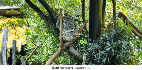 Cute Sleeping Baby Koala Bear from Australia sitting on Eucalyptus Tree. Adorable Eating leaves Sleepy Koala, gum tree.
