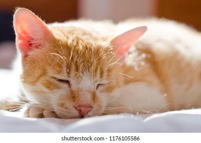 Cute sleeping yellow cat