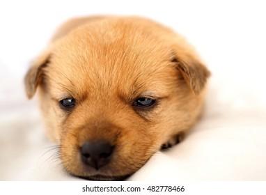 cute sleepy little puppy