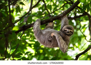 Cute sloth hanging on tree branch with funny face look, perfect portrait of wild animal in the Rainforest of Costa Rica scratching the belly, Bradypus variegatus, brown-throated three-toed sloth,