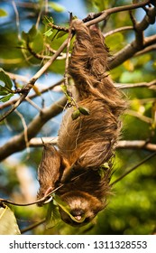 Cute Sloth lazy licking leaves on the tree in Costarica
