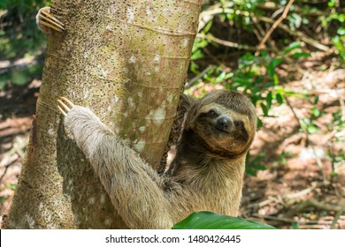 Cute sloth on a tree looking at the camera - Itamaraca island, Pernambuco state, Brazil
