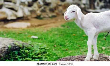 Cute small baby sheep lamb standing on stone in farm with copy space.