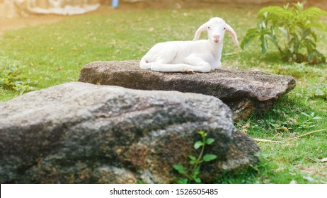 Cute small baby sheep lamb sitting relaxing on stone in farm