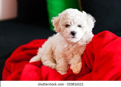 cute small bichon frise puppy posing indoors, notice shallow depth of field