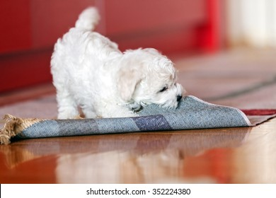 cute small bichon frise puppy playing with rug, notice shallow depth of field