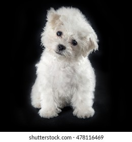 Cute small Bichon Frise puppy at 9 weeks old sitting on black background