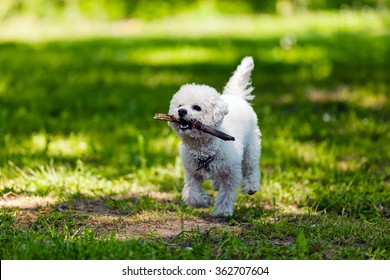 cute small bichon with wooden stick running in the park, notice shallow depth of field