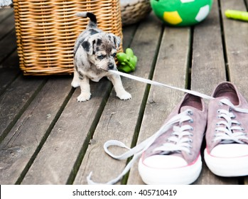 Cute Small Breed Puppy Pulling Laces from Shoes