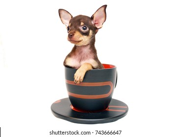 Cute and small brown and tan short-haired Russkiy toy (Russian toy terrier) puppy in a big teacup in a white background.