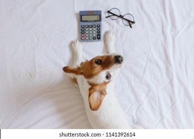 cute small dog accountant thinking and calculating with calculator on bed. Pets indoors. Working at home