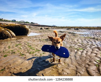 32dccaa3f Cute small dog carrying a flip flop