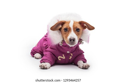 cute small dog Jack Russell terrier isolated on the white background