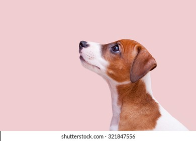 cute small dog Jack Russell terrier on pink background