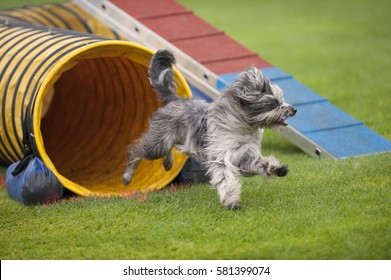 Cute small dog running on agility competition. He came out of yellow tunnel. Enjoying his fun time running and playing. He is purebred sheepdog.