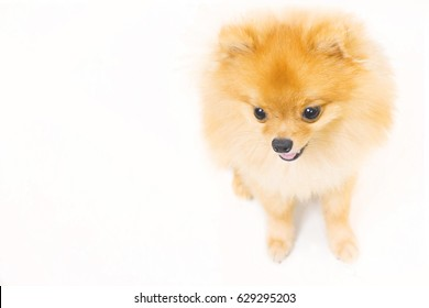 Cute small dog sit on a white background.