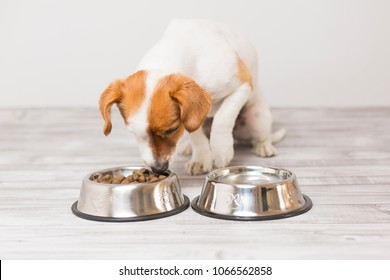 cute small dog sitting and eating his bowl of dog food. Pets indoors. Concept