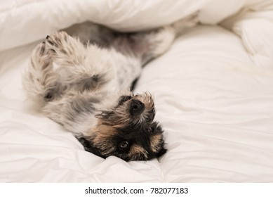 Cute small dog sleeping in bed with white bedding - jack russell terrier