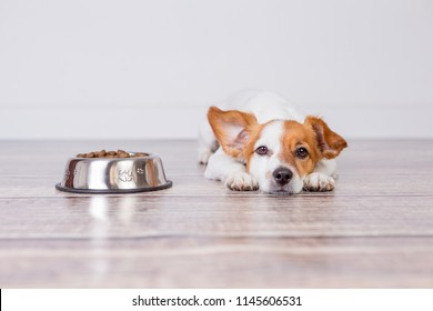 cute small dog waiting for meal or dinner the dog food. he is lying on the floor and looking at the camera. white background and pets indoors.