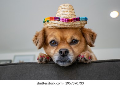 Cute small dog wearing sombrero