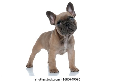 cute small french bulldog looking up and standing isolated on white background