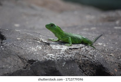 Cute small green iguana laying in the sunshine.