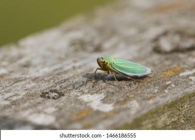 A cute small Green Leaf-hopper, Cicadella viridis, perching on a wooden fence in a meadow.