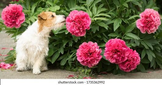 Cute kleine glückliche Jack Russell Terrier Haustier Hund Welpe riecht Peony Blume im Garten, Web-Banner