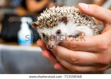 Cute small hedgehog being held at a Japanese Hedgehog Cafe