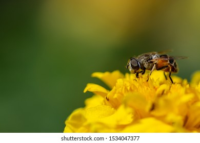 A cute small honeybee collecting pollen on a yellow flower