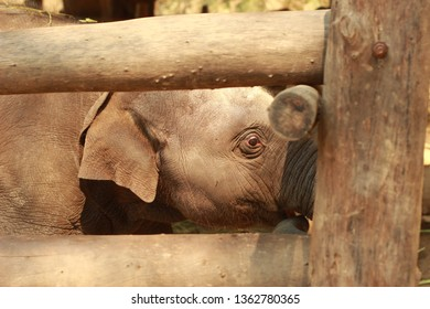 Elephant S Ear Stock Photos Images Photography Shutterstock